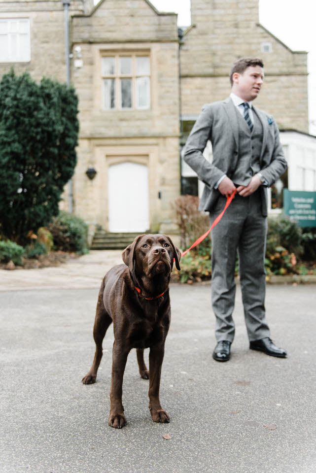 Groom taking chocolate Labrador for a walk